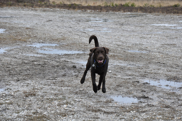 Blue running with all four paws off the ground
